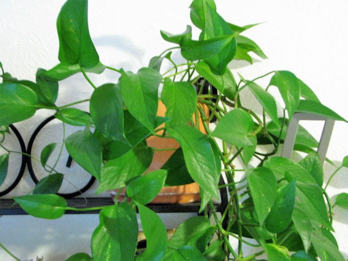 Philodendron house plant as as example of spring home decor trends.